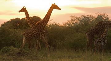 Kenya Safari Holidays | Safari's In Kenya